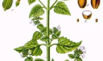 cataire huile essentielle
